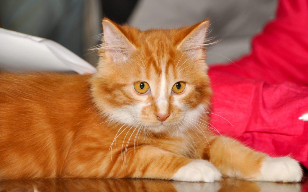 Cymric cat