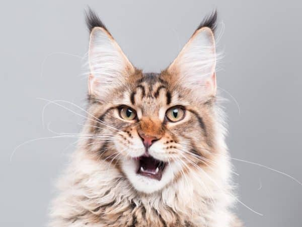 Exotic cat breed maine coon