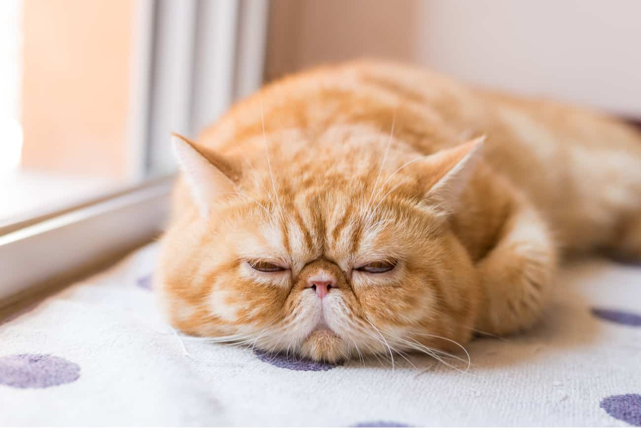 Exotic shorthair orange cat laying down