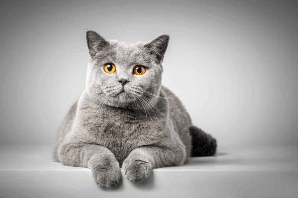 British Shorthair Flat Face Cat