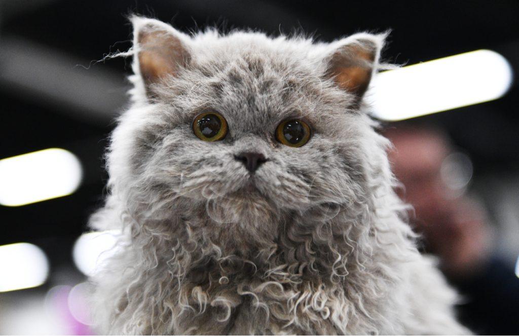 Selkirk Rex flat face cat