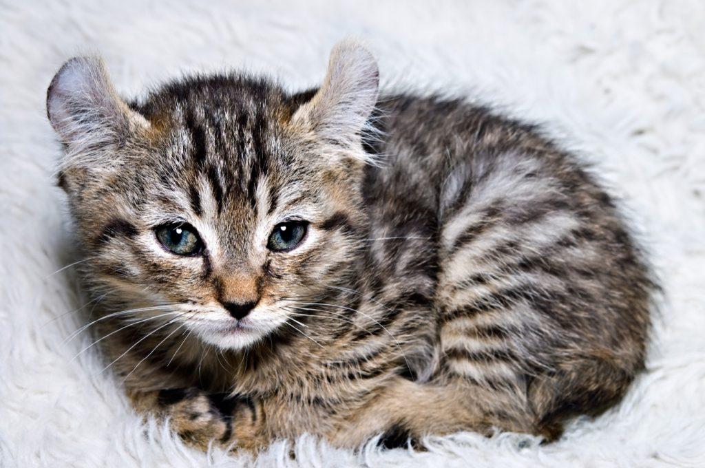 Highlander kitten curled up