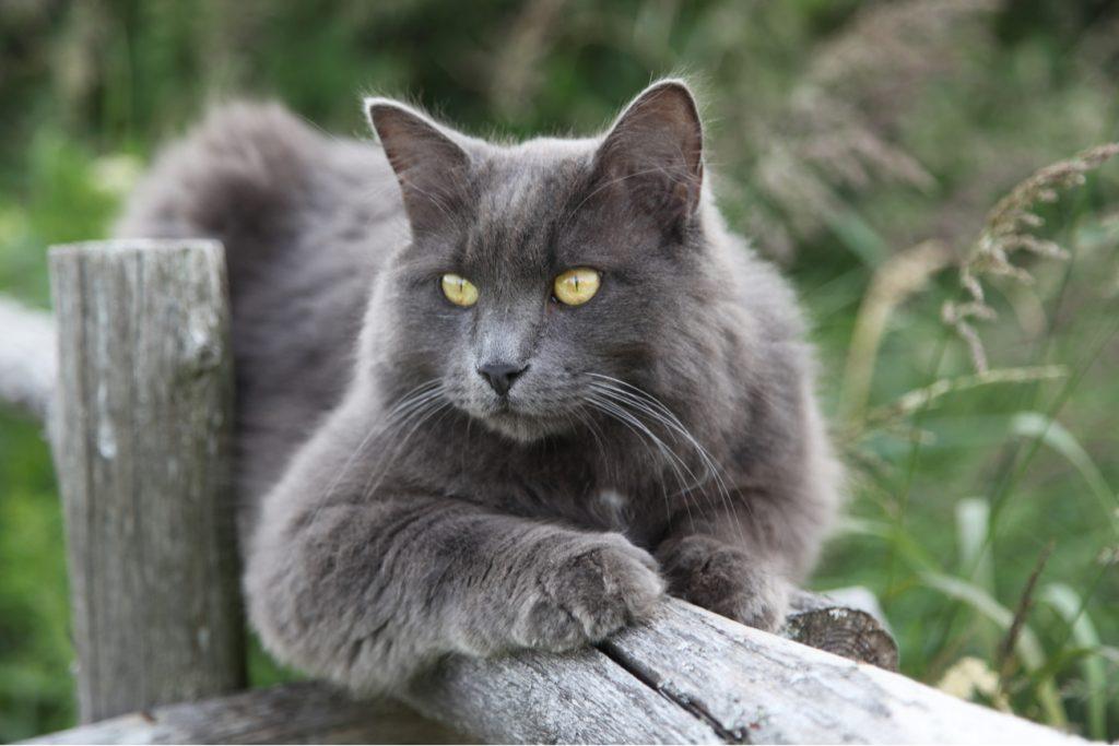 Nebelung cat