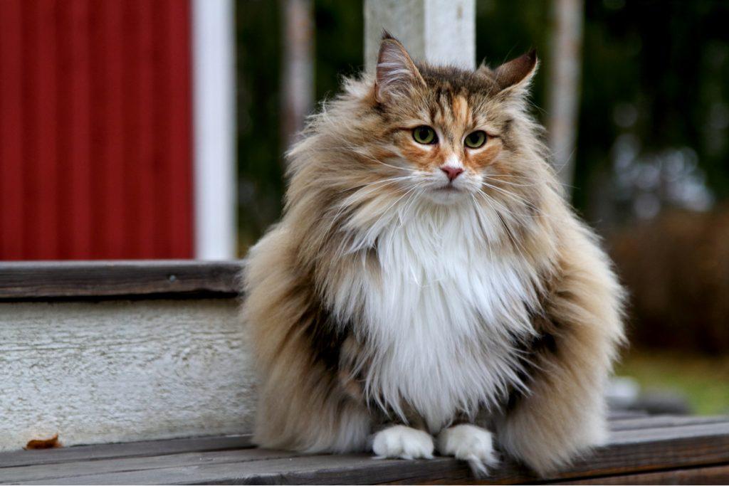 Norwegian Forest Cat Sitting
