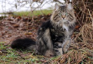 Norwegian Forest Cat hunting