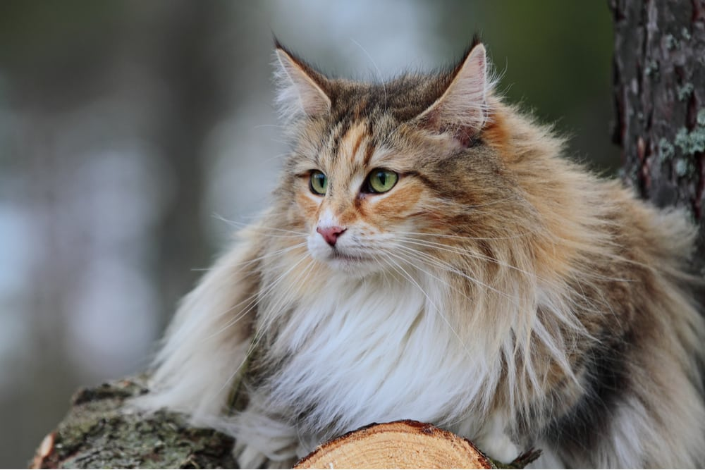 Norwegian Forest Cat laying