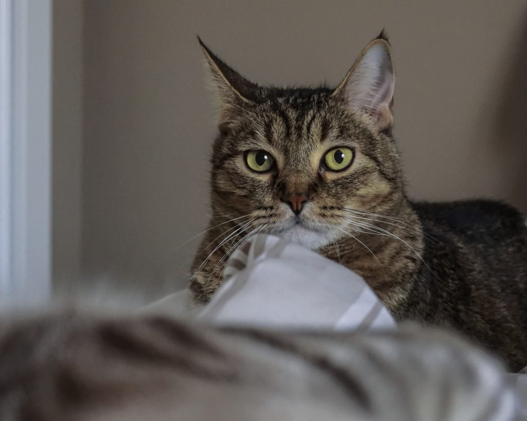 Pixie bob cat staring