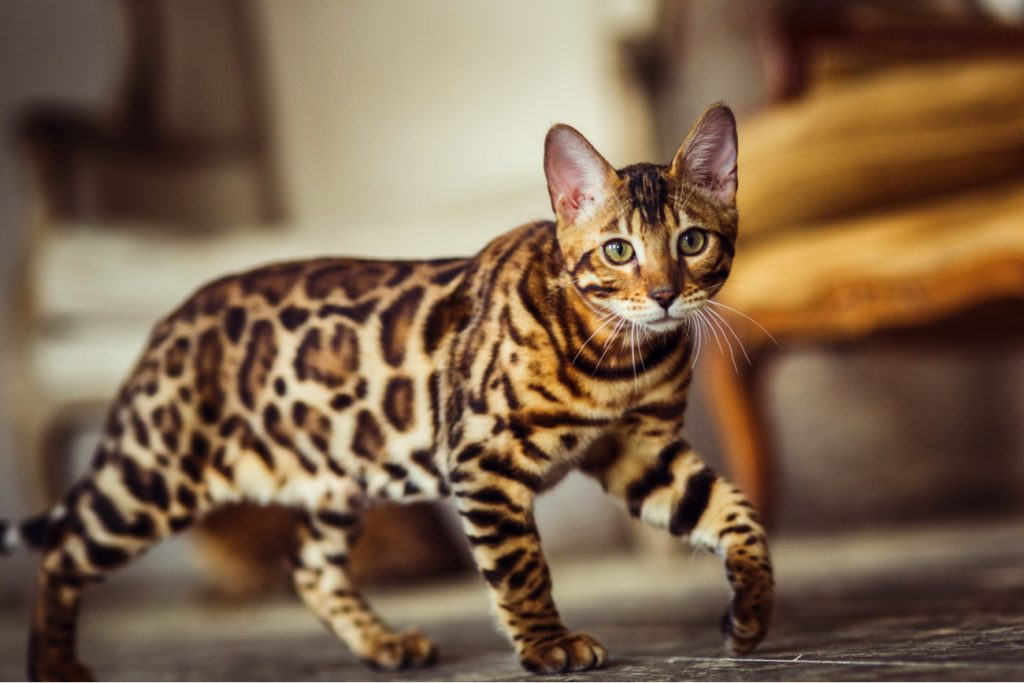 Serengetti Cat