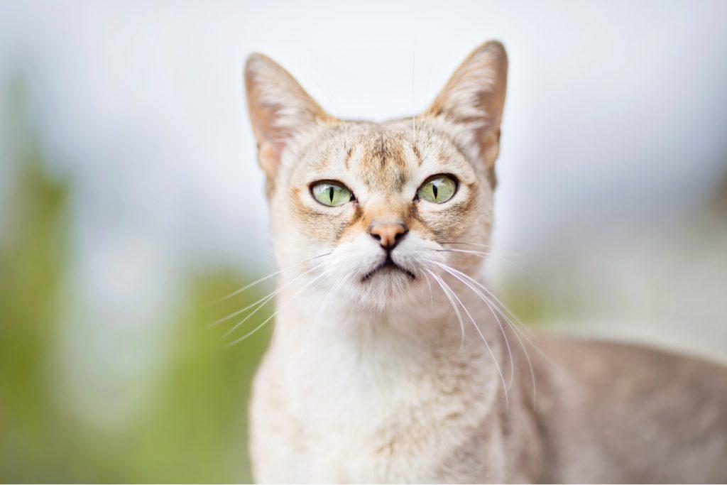 Singapura cat staring
