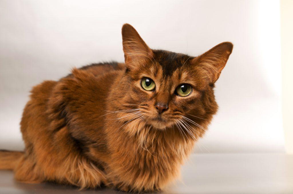 Somali orange cat gazing