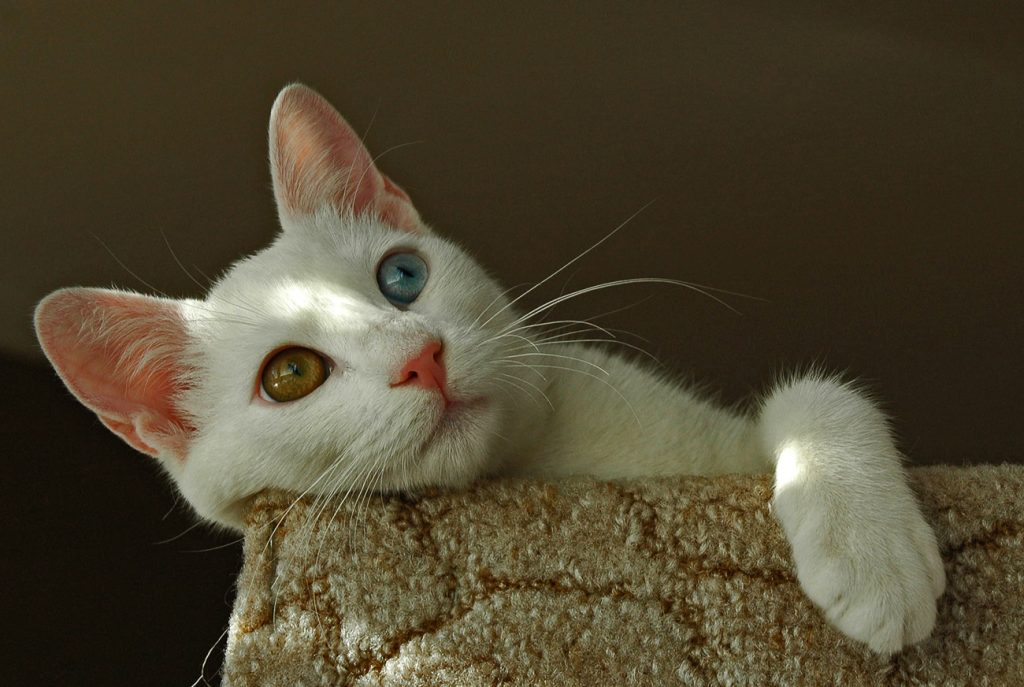 Turkish van cat on chair