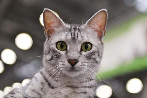 Egyptian Mau staring.