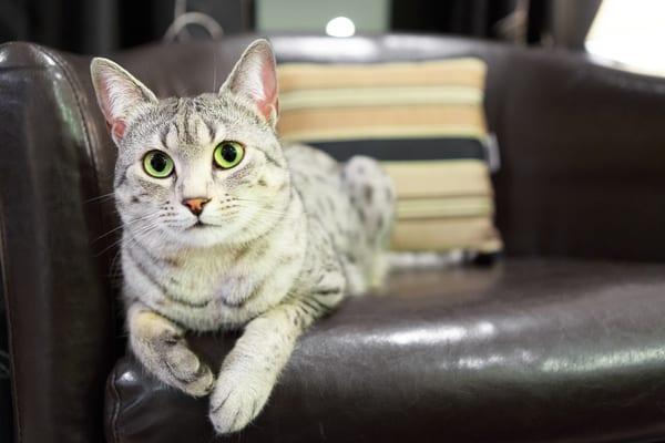 Egyptian Mau Cat laying.
