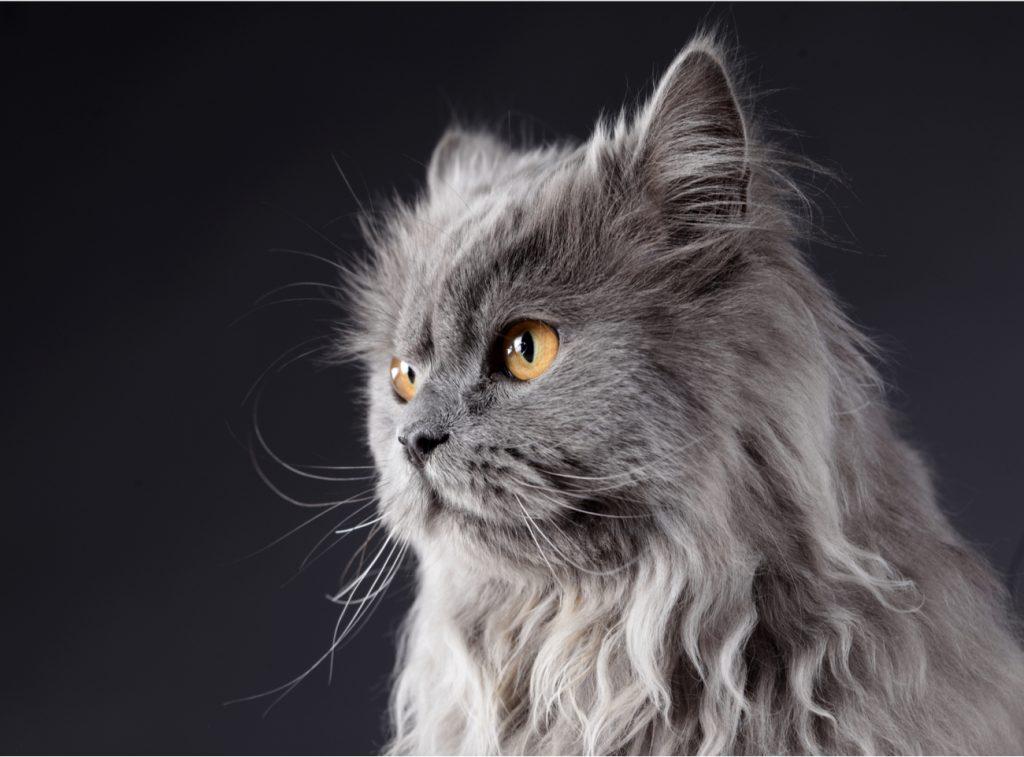 Grey persian cat