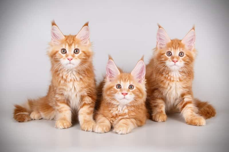 Maine coon orange kittens