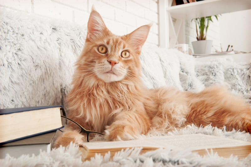 Maine coon laying