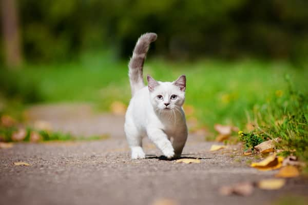 Munchkin cat