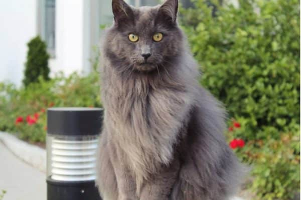 nebelung grey cat