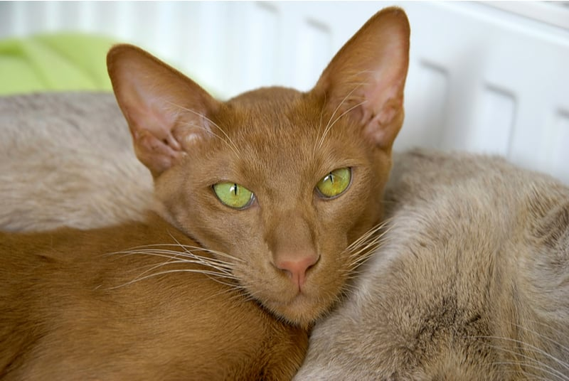 Oriental Shorthair Cat Breed Profile • Purrfect Cat Breeds