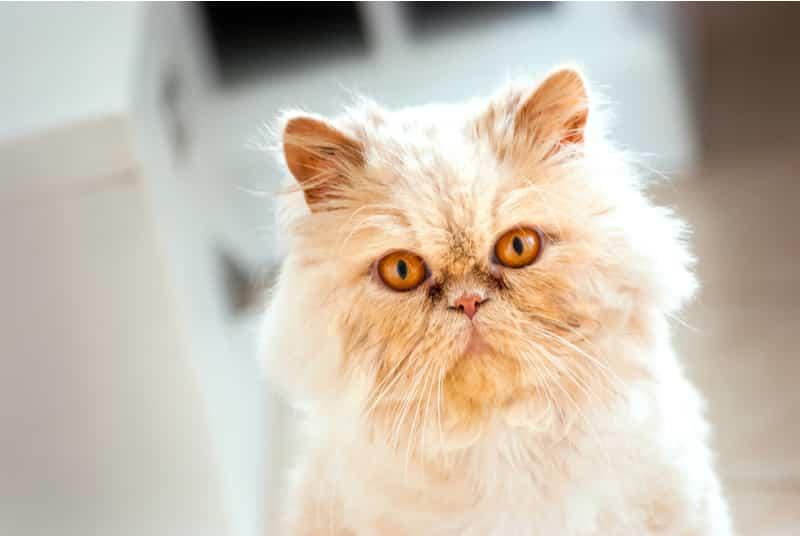 Persian orange cat