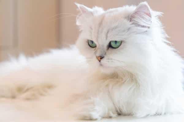 Persian white cat