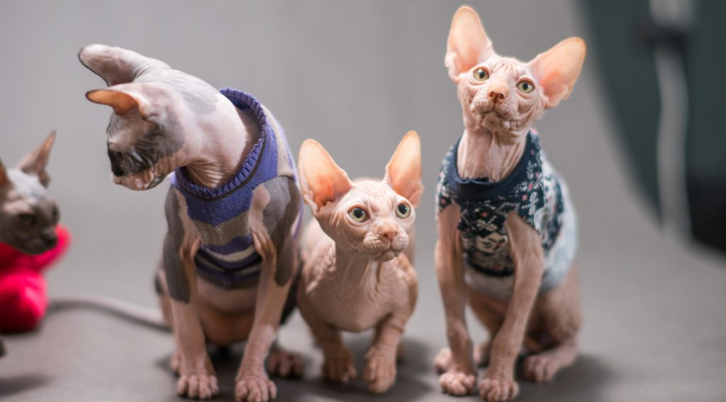 group of sphynx cats