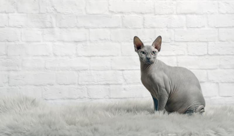 Sphynx grey cat breed