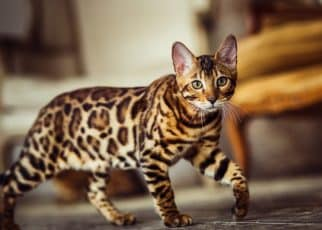 Bengal cat breed standing