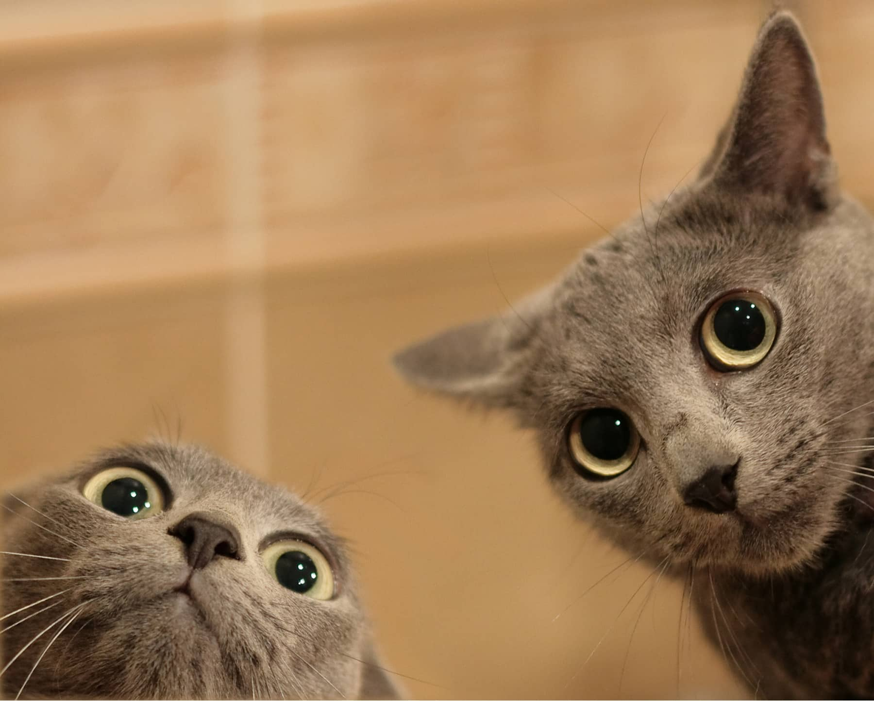 Most Popular Cat Breeds With Grey Coats Purrfectcatbreeds