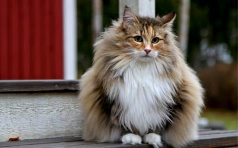 Norwegian Forest Cat staring