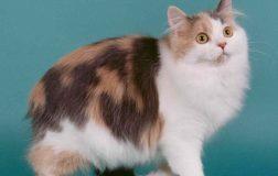 Cymric Cat, aka Longhaired Manx