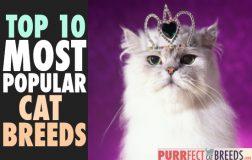 Top 10 Most Popular Cat Breeds