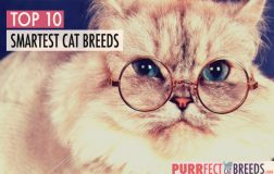 Top 10 Smartest Cat Breeds