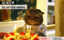 Cat Facts #9. Cats are the Only Mammals that Can't Taste Sweetness