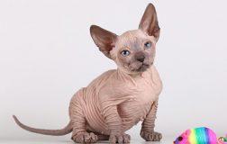 Donskoy Cat, aka Don Sphynx