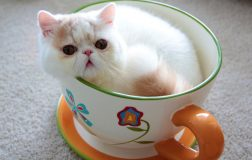 Teacup Cats, Miniature Cats and Toy Cats