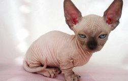 Minskin Cat