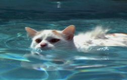 Cat Breeds That Like Water